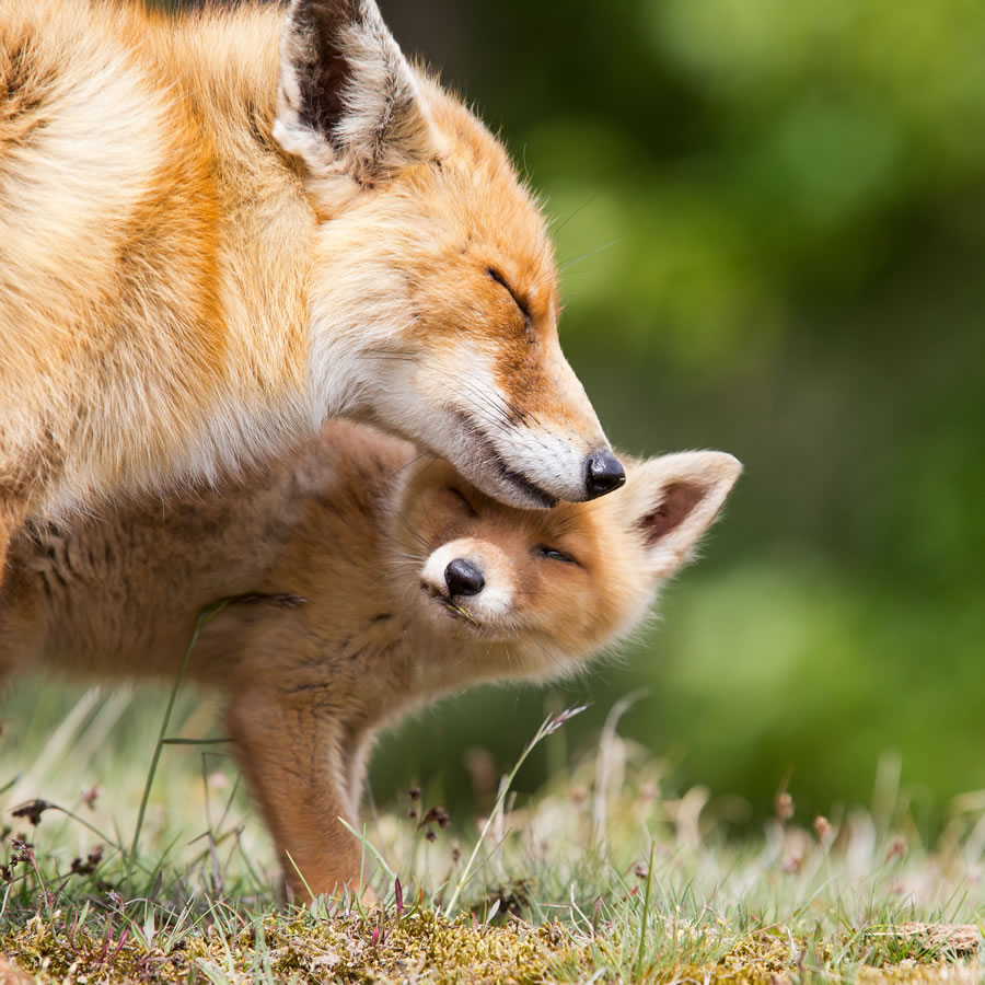 Fox cub and mum
