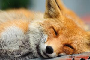 Sleepng Fox